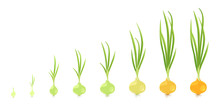 Crop Stages Of Onion. Vector I...