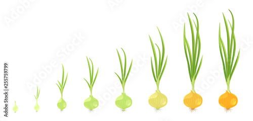 Fototapeta Crop stages of onion. Vector Illustration growing onion plants. Bulbs life cycle. Harvest growth biology. Allium. obraz