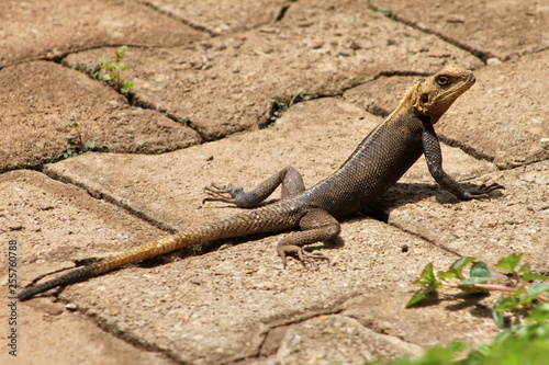 Photographie  lizard on rock