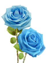 Blue Roses Bunch Isolated On W...