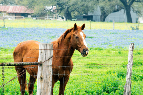 Horse with Spring Bluebonnets