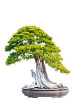 Pine Bonsai Isolated On White ...