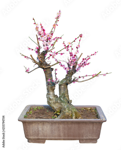 Plum Blossom Prunus Mume Bonsai In Early Spring Isolated On White Background Buy This Stock Photo And Explore Similar Images At Adobe Stock Adobe Stock