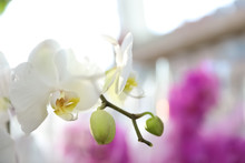Beautiful Blooming Tropical Orchid On Blurred Background, Closeup. Space For Text