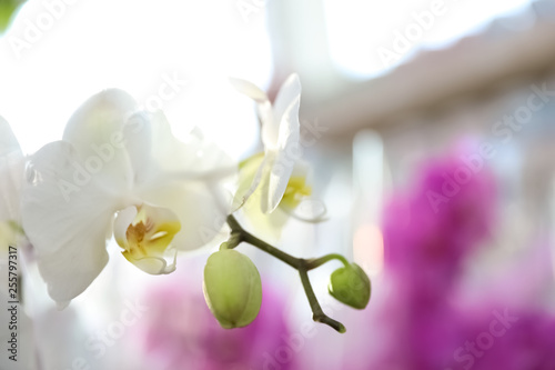 Stickers pour porte Orchidée Beautiful blooming tropical orchid on blurred background, closeup. Space for text
