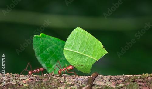 Photo Leaf-cutter ant (Atta sp