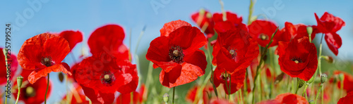 Ingelijste posters Poppy red poppy flowers