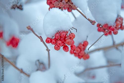 Fotografie, Obraz  rowanberry covert with snow