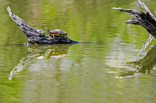 Painted Turtles Mating In The ...