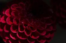 Purple Dahlias Flower Over Black Background. Deep Red Autumn Flower.