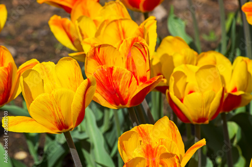 Photo Tulips of the Andre Citroen  species.