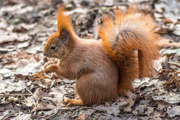 ruda wiewiórka w naturalnym otoczeniu
