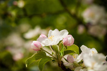 Spring Blossoming White Spring Flowers. On A Apple Tree Against Soft Floral Background