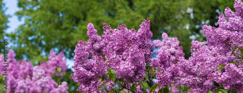 Photo sur Toile Lilac Spring branch of blossoming lilac, banner, postcard concept