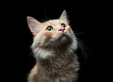 Portrait Of A Red Cat On A Black Background