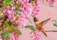 Male Rufous Hummingbird (Selasphorus Rufus) Sipping Nectar From Red Currant Flowers (Ribes Sanguineum)