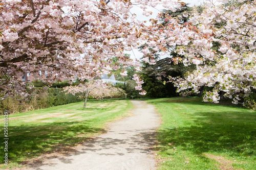 Fotografie, Obraz  Blossom tree branches above the small walk way