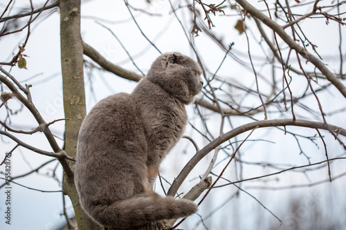 Garden Poster Koala Folding British cat sitting on a tree