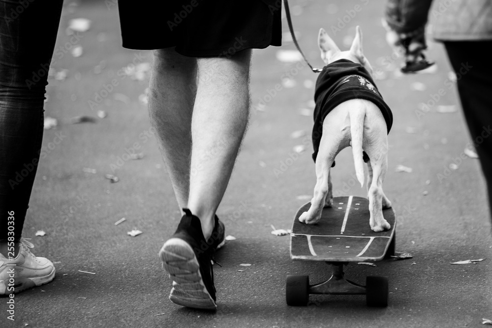 Fototapeta Black and white photo from back of man with dog on skateboard .