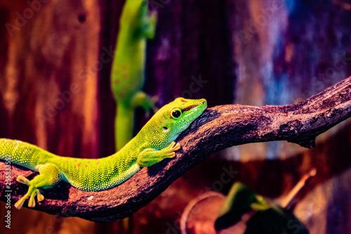 Lizard in Copenhagen Zoo Canvas Print