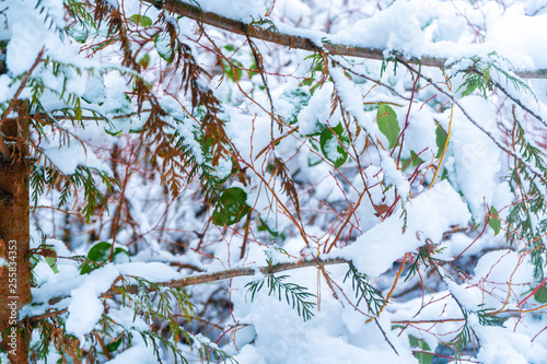 Fotografija  Background of green leaves showing in snowfall after a snowstorm in Vancouver (Delta) BC, at Burns Bog