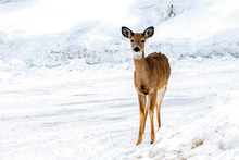 Whitetail On A Snowy Road