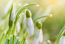 Spring Snowdrops Flower. Early...