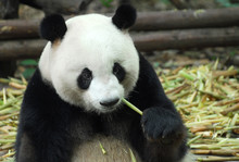 Close Up On Giant Pandas Sitting And Eating
