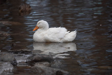 Sleepy Goose In A Pond