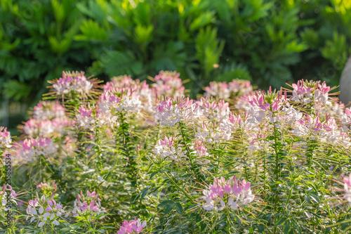 Foto  Cleome spider flower garden