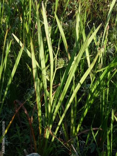 sedge plant fruit wetland Billede på lærred