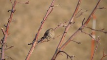 Adult Female House Finch Perch...