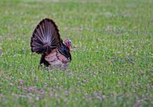 A Single Wild Turkey Struts In A Field Of Purple Clover.