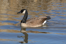 Canada Goose Swimming In Lake With Golden Reflections In Water From Dry Winter Grass On Shore