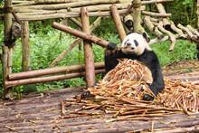 Cute Panda Bear Sitting In Pil...