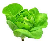 Butter Head Lettuce Vegetable ...