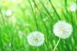 Leinwandbild Motiv 春の花 タンポポ