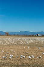 Wintering Lesser Snow Geese, Chen Caerulescens, Feeding And Resting In Farm Field, Brunswick Point, BC, Canada.