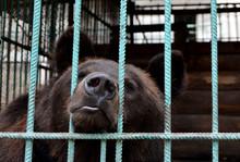 Bear In Captivity In A Zoo Beh...