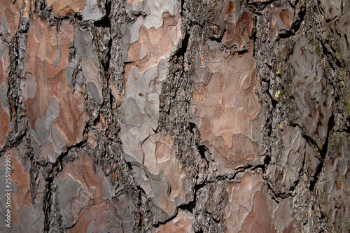 Vászonkép  Tree bark texture of Pinus silvestris or Scots pine with beautiful rough cracked