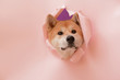 Leinwandbild Motiv Cute Akita Inu dog visible through hole in torn color paper