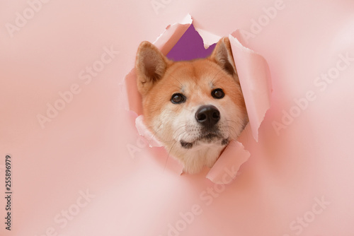 Cute Akita Inu dog visible through hole in torn color paper Fototapete