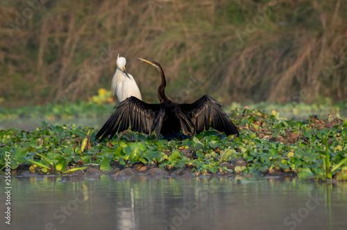 Fotografie, Obraz  Darter or Snakebird or the Plotus anhinga Spreading its Wings
