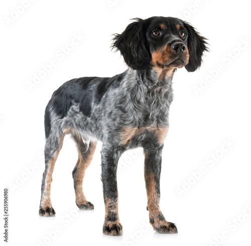 puppy brittany spaniel Fototapete