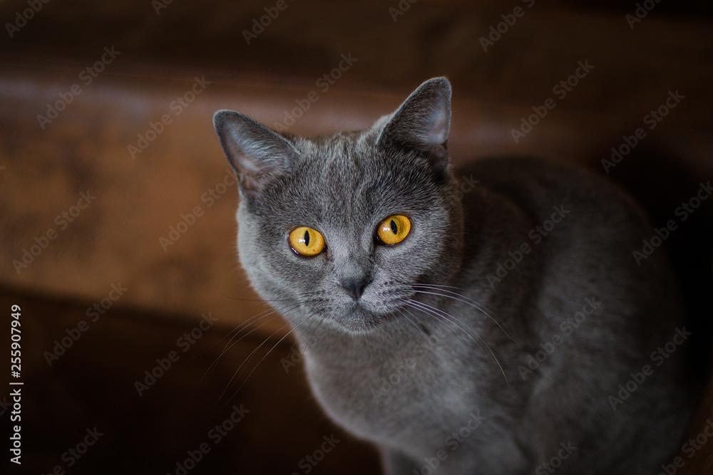 Fototapeta piękny szary kot o miodowo-bursztynowych oczach w rozmytym tle