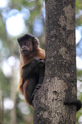 Tufted capuchin (Cebus apella) climbing on a tree trunk. Canvas Print