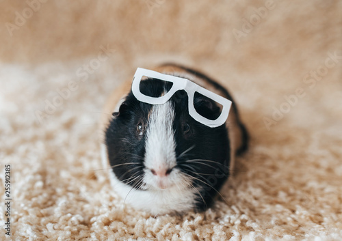 Guinea pig with glasses Canvas-taulu