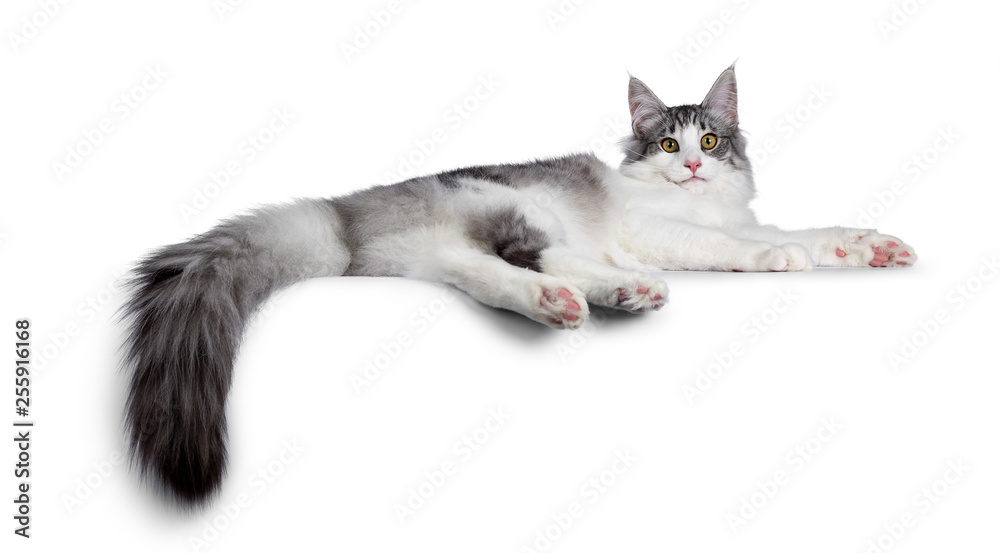 Fototapety, obrazy: Cute black silver bicolor spotted tabby Norwegian Forest cat kitten, laying down side ways showing toe beans. Looking at camera with green / yellow eyes. Isolated on white background.