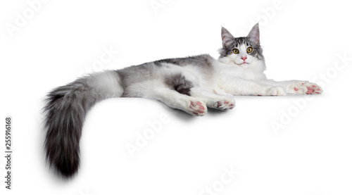 Cute black silver bicolor spotted tabby Norwegian Forest cat kitten, laying down side ways showing toe beans Canvas-taulu