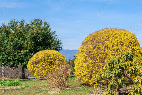 Fotografia Forsythia intermedia- erste Blüten im Frühlingsgarten